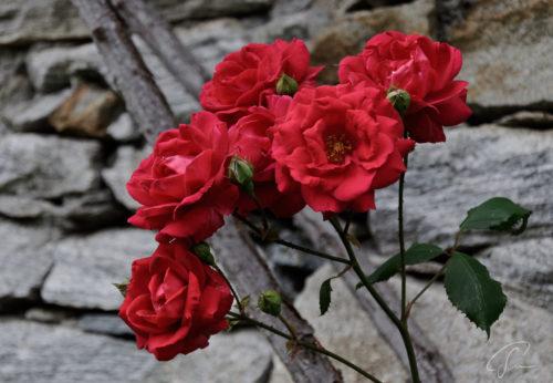 Rote Rosen wachsen an der Trockenmauer in Corippo im Valle Verzasca